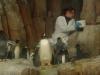 Pinguine bei der Fütterung.
