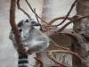 Katta-Lemuren sind ursprünglich in Madagaskar beheimatet.